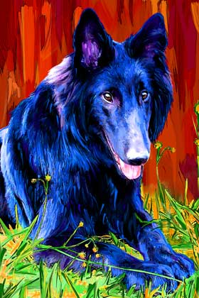 belgian sheepdog portrait