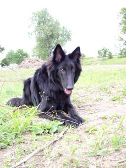 belgian sheepdog pictures