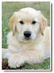 golden retriever photo