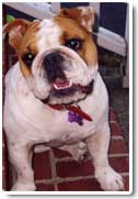 english bulldog photo