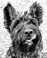 scottish terrier pictures